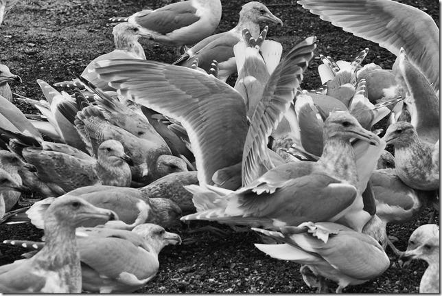 Point Holmes,sea gulls,beach,ocean,birds,nature,Comox,black and white